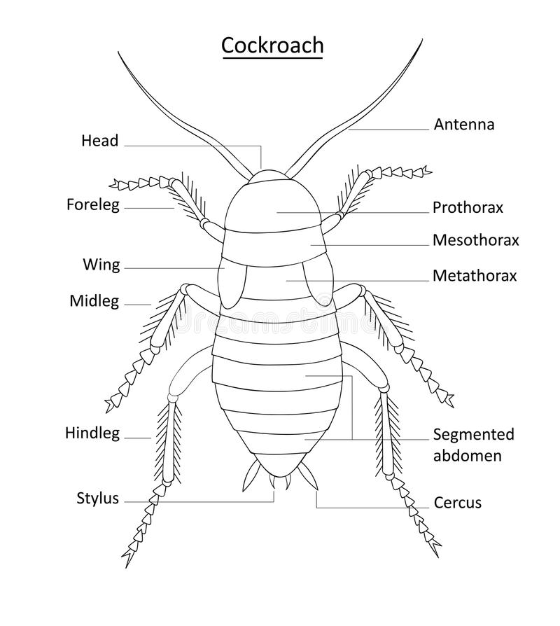 Cockroach Anatomy- Line Art With Labels On White Stock Vector ...