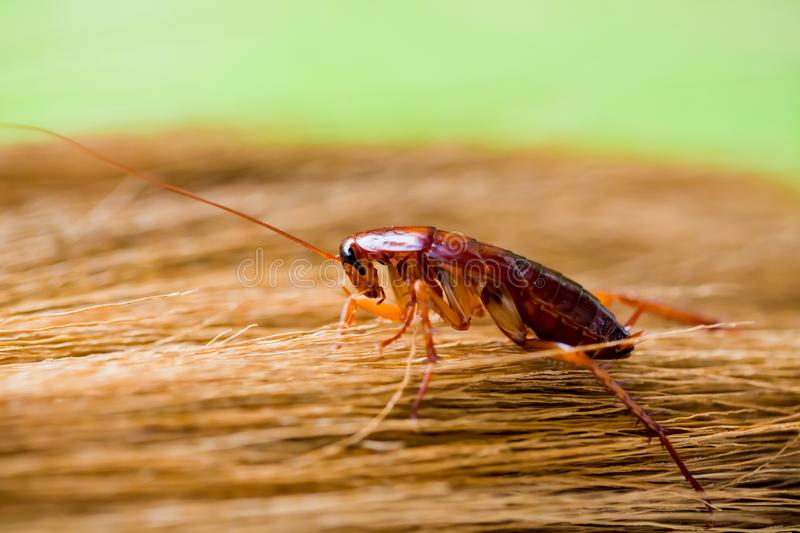 Cockroach on brown broom with garden green background. Selective focus to cockroach on brown broom with garden green background. It crawling around the kitchen royalty free stock photo