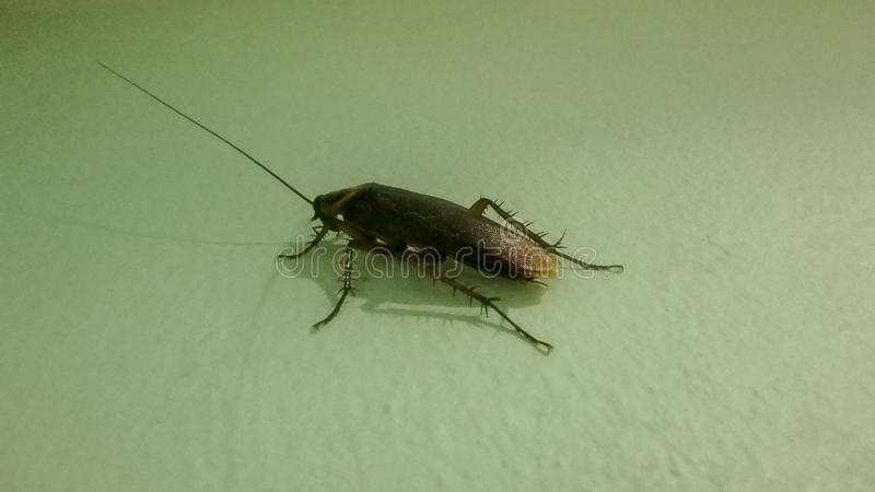 A cockroach climbs my kitchen wall in Patong, Phuket Province, Thailand royalty free stock photo