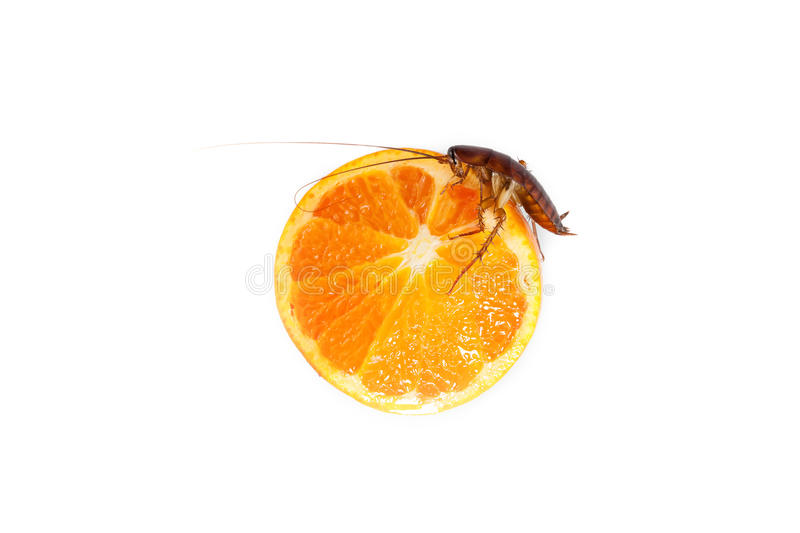 Cockroach eating orange, Concept of cleanliness. Clean food s. Cockroach eating orange Concept of cleanliness. Clean food storage stock image