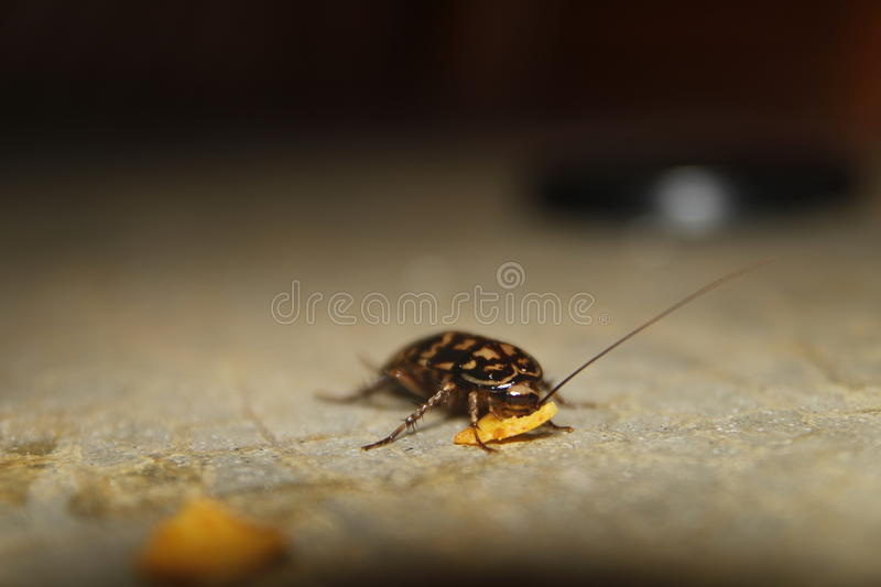 Cockroach eats chips stock photo