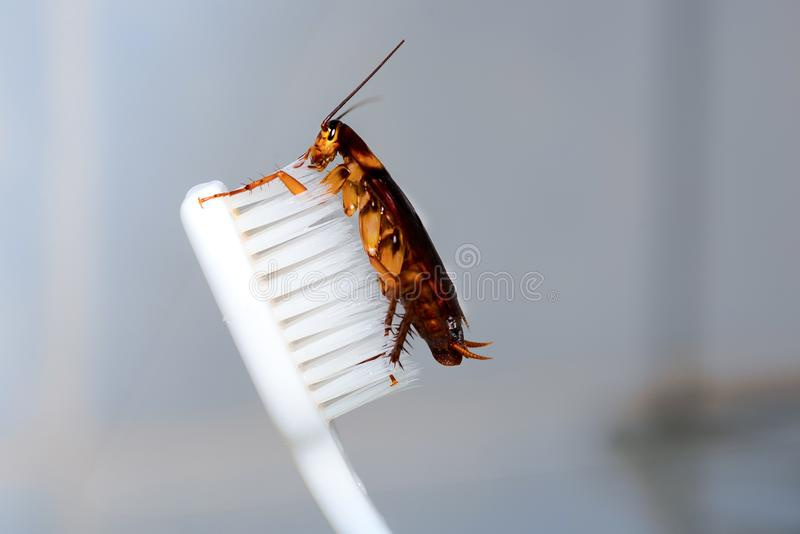 Cockroach insect on the toothbrush stock image