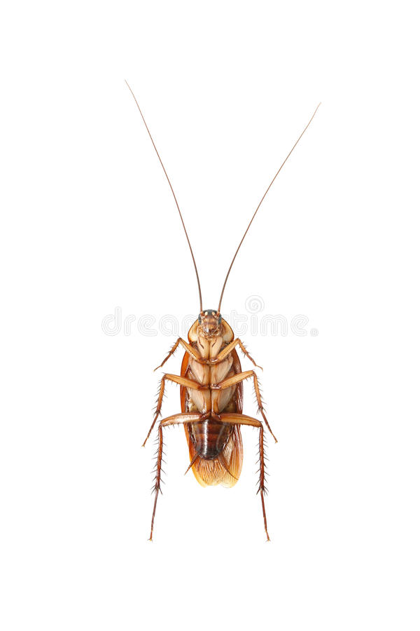 Cockroach. Isolated on white background stock photos