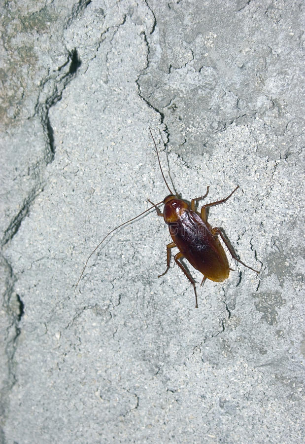 Free Cockroach On Concrete Wall Royalty Free Stock Images - 10686029