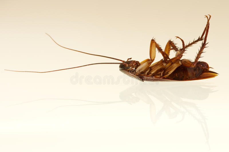 Cockroach profile royalty free stock photo