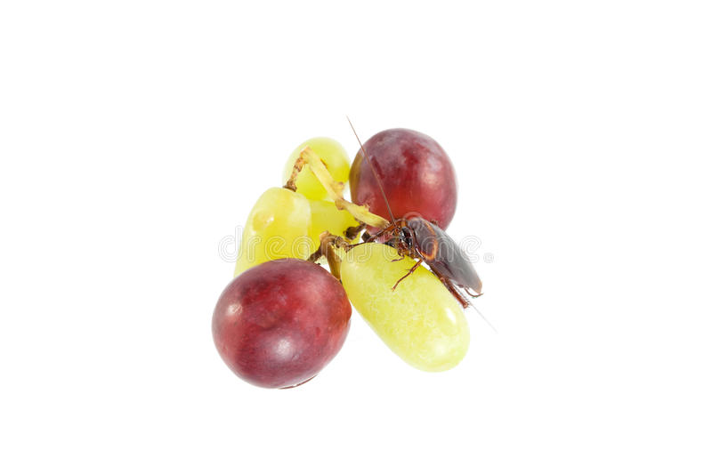 Cockroach sitting and eating grapes, Concept of cleanliness. Cl. Ean food storage stock photos
