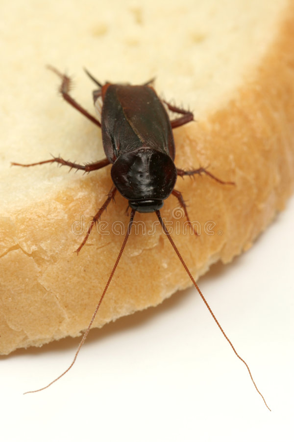 Download Cockroach On A Slice Of Bread Stock Photo - Image: 8360778