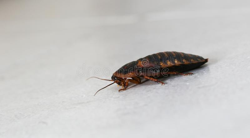 Cockroach in toilet royalty free stock photography