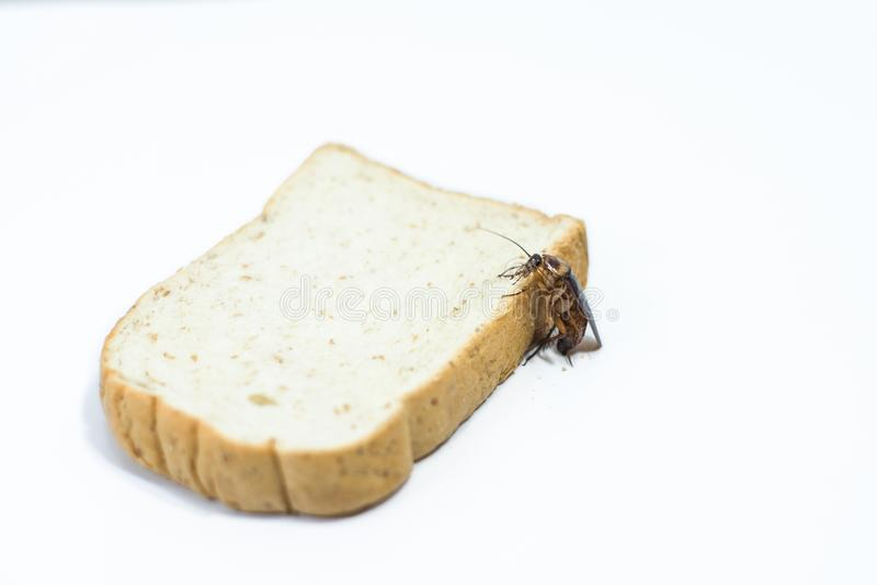 Cockroache je chleb na odosobnionym bielu obraz stock