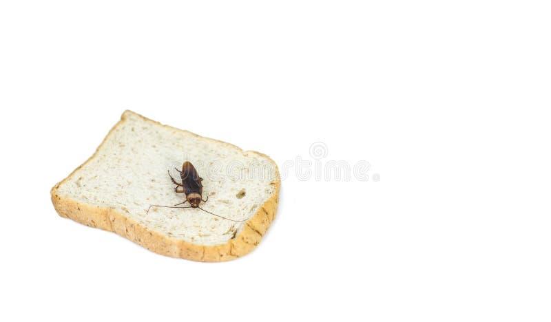 Cockroache je chleb na odosobnionym bielu fotografia stock