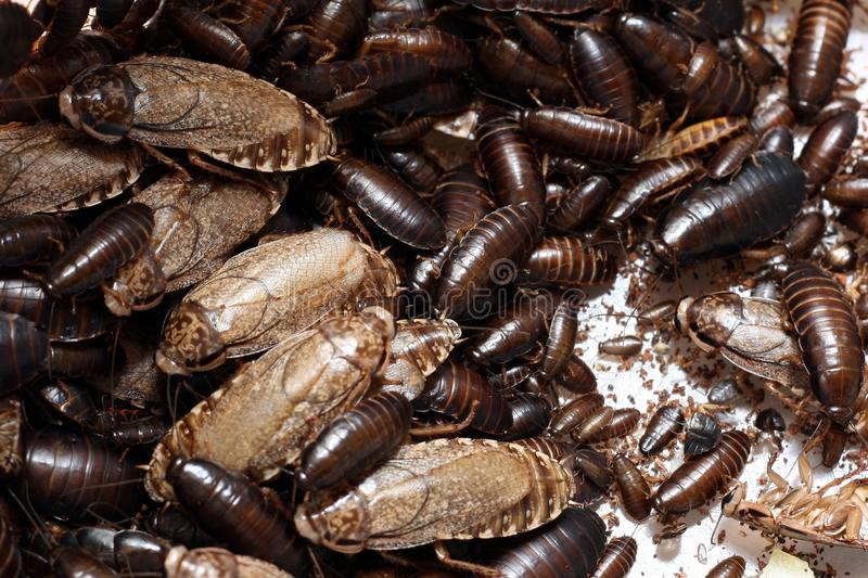 Download Cockroaches stock photo. Image of cucaracha, swarm, nocturnal - 27718024