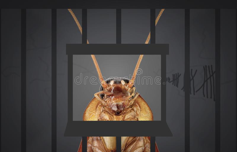 Cockroaches arrested. The chargeg the home kitchen. Cockroaches arrested. The charges against, Mr cockroaches, invading the home kitchen. concept protection royalty free stock images