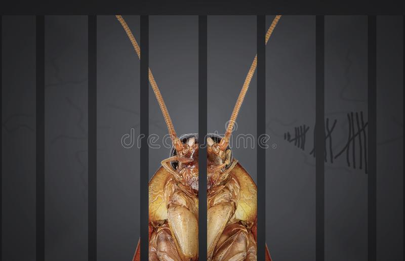 Cockroaches arrested. The charges against, Mr cockroaches, invading the home kitchen. Concept protection against termites, cockroaches, fleas, agricultural stock photography