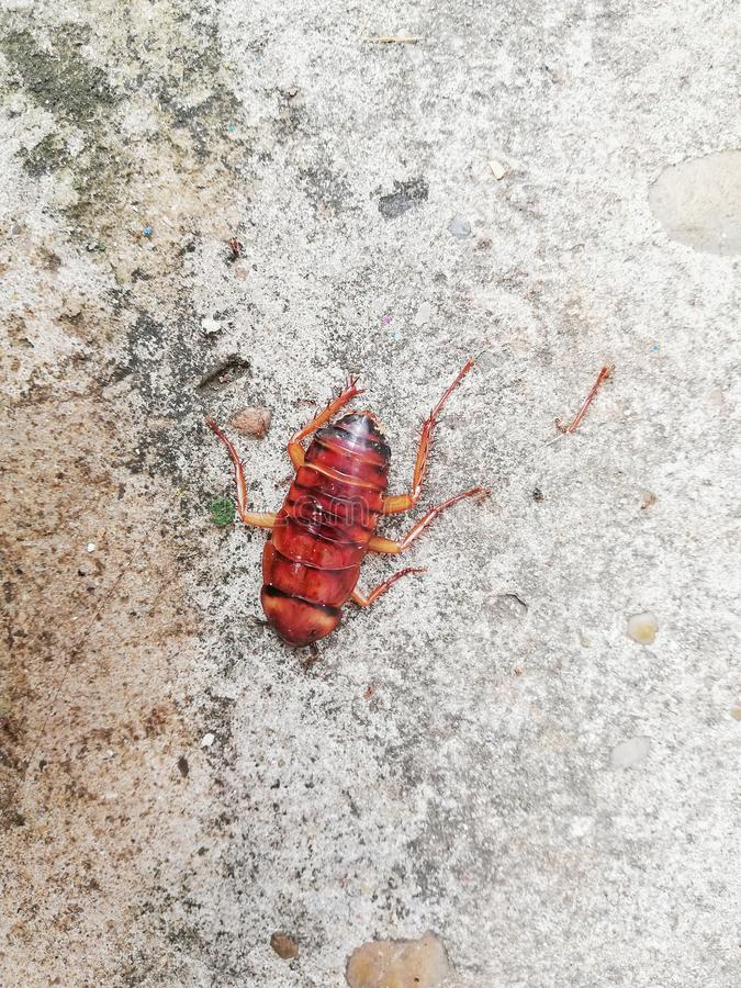 Cockroaches die on the cement floor after being hit by insecticide. Cockroaches die on the cement floor after being hit by insecticide royalty free stock images