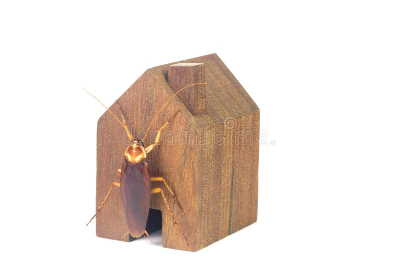 Cockroaches and house models on a white background. The concept of home invasive pest control and cockroach protection. Cockroaches carry the disease to humans royalty free stock photos