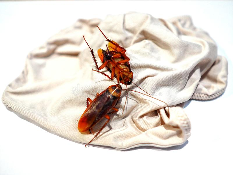 Cockroaches are on ladies underwear. Two cockroaches dead are on the ladies underwear cockroach, roach, cockroaches, background, isolated, white, macro, disease royalty free stock image