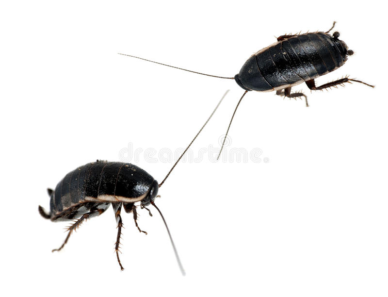 Cockroaches Macro - Pests, Isolated Royalty Free Stock Photos