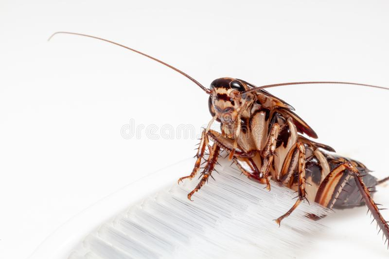 Cockroaches are in the toothbrush on white background royalty free stock photos