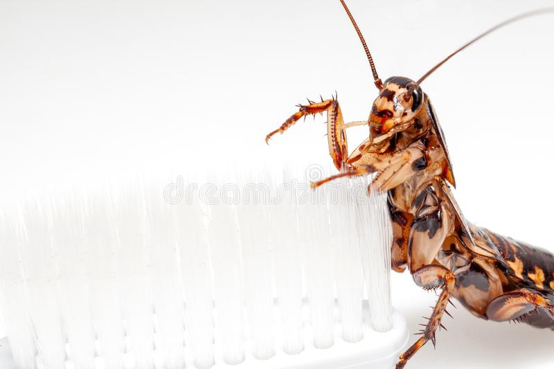 Cockroaches are in the toothbrush on white background royalty free stock photography