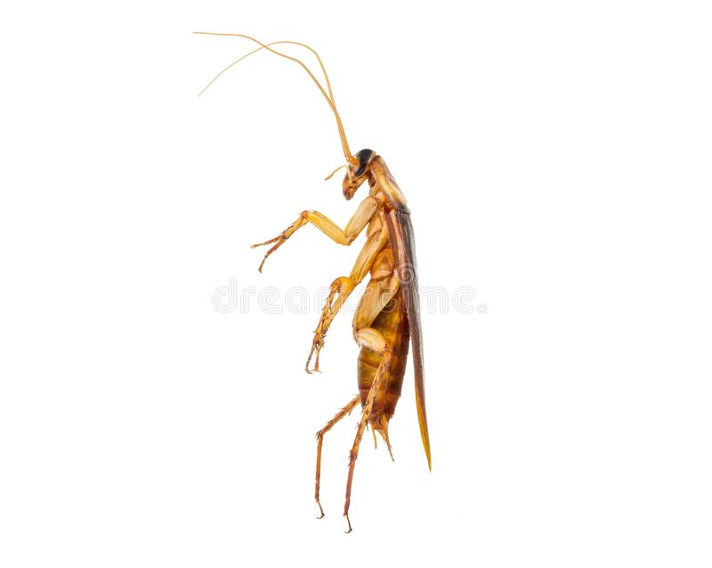 Cockroaches are walking, action image of Cockroaches, stock photos