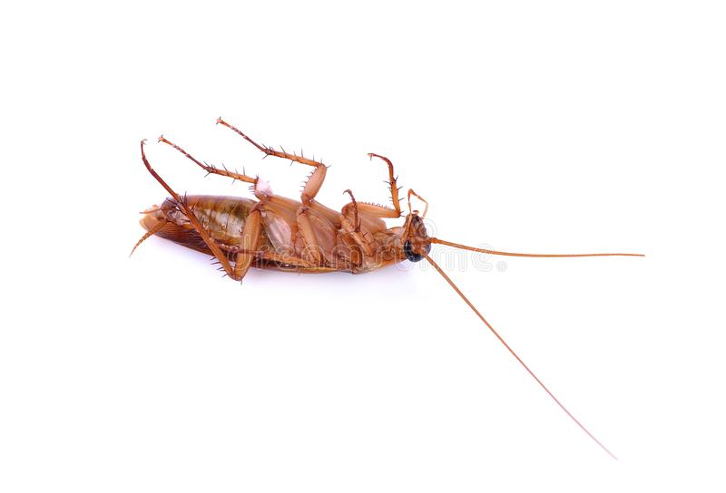 Cockroachs na bia?ym tle obraz royalty free