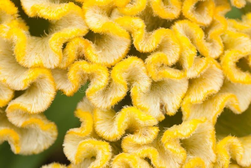 Cockscomb amarelo imagem de stock