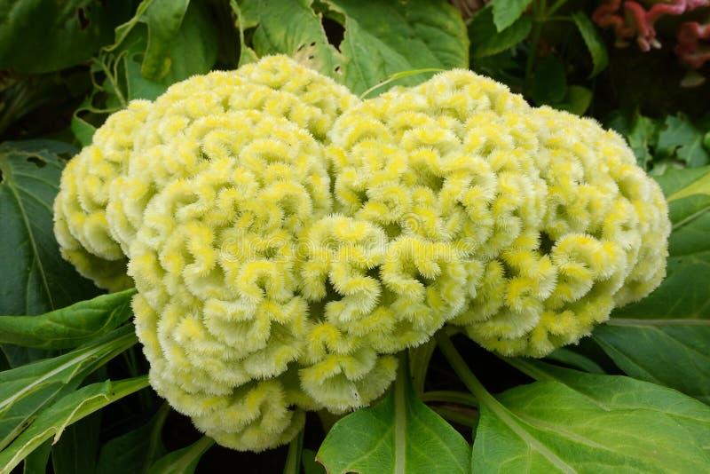 Cockscomb, flor chinesa de lãs fotos de stock royalty free