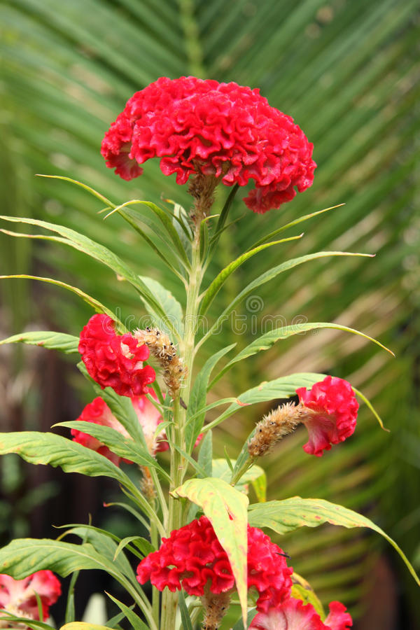Free Cockscomb Flower - Celosia In A Tropical Garden Stock Image - 46025311