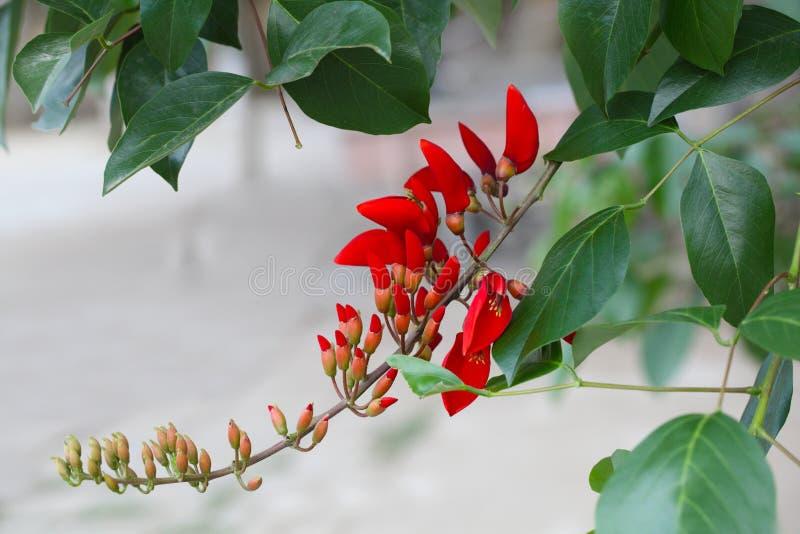 Cockspur Coral Flower Branch fotografia stock libera da diritti