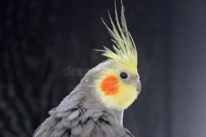 Cocktail stock image image of bird black smiling head for Cocktail yellow bird