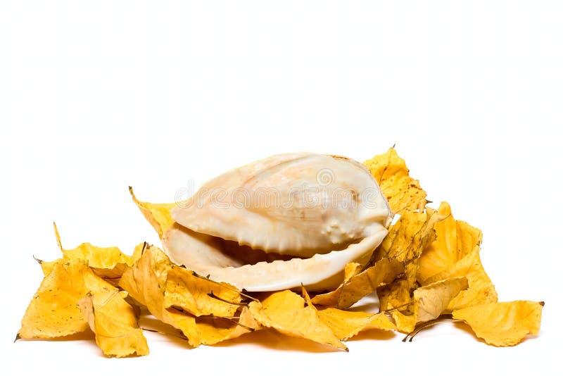 cocktashell秋天叶子海洋 库存照片