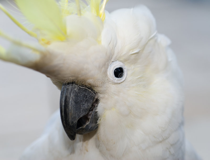Cocky. Sulphur Crested Cockatoo with head in cheecky position stock images