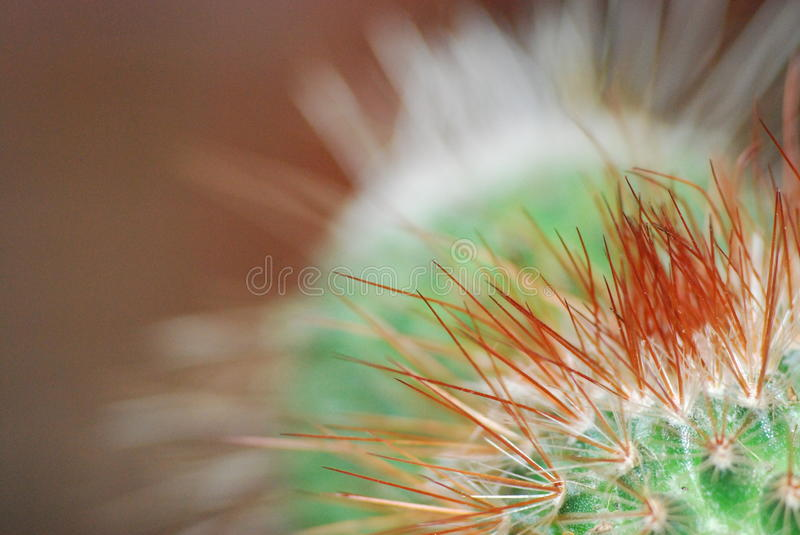 Cocky Cactus. Arrogant little colorful proud Cactus macro image royalty free stock photo