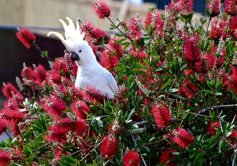 Cocky. Cockatoo in bottlebrush tree in Sydney stock photos