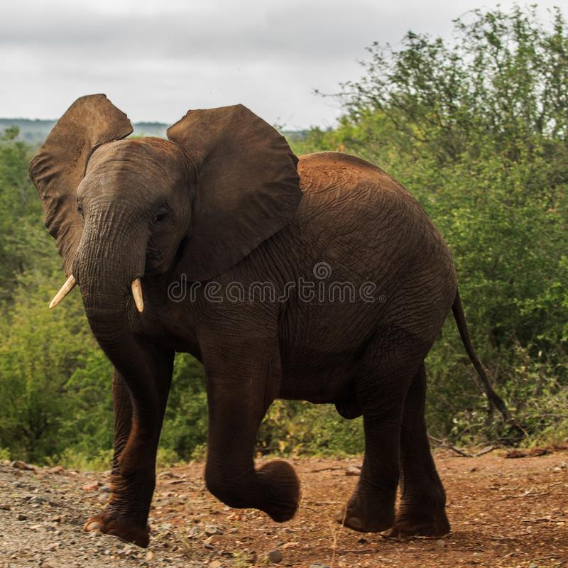 Cocky Elephant Bull. A cocky elephant bull poses with ears flared in the Kruger National Park royalty free stock image