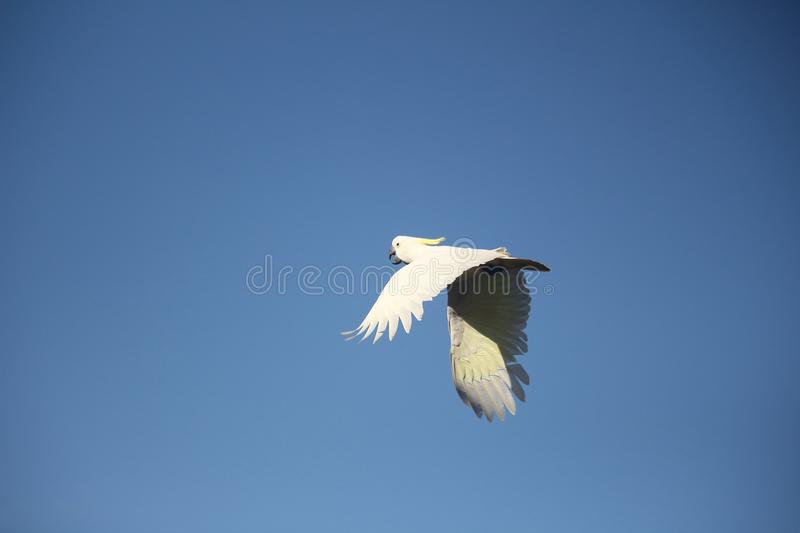 Cocky in flight. Sulfur crested cockatoo in flight. Blue sky background stock images