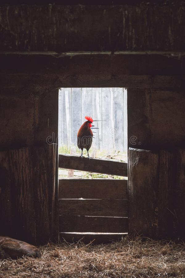 Cocky rooster perching. In the doorframe of an old farm shed royalty free stock photo