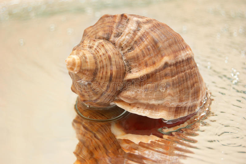 Cocleshell Royalty Free Stock Images