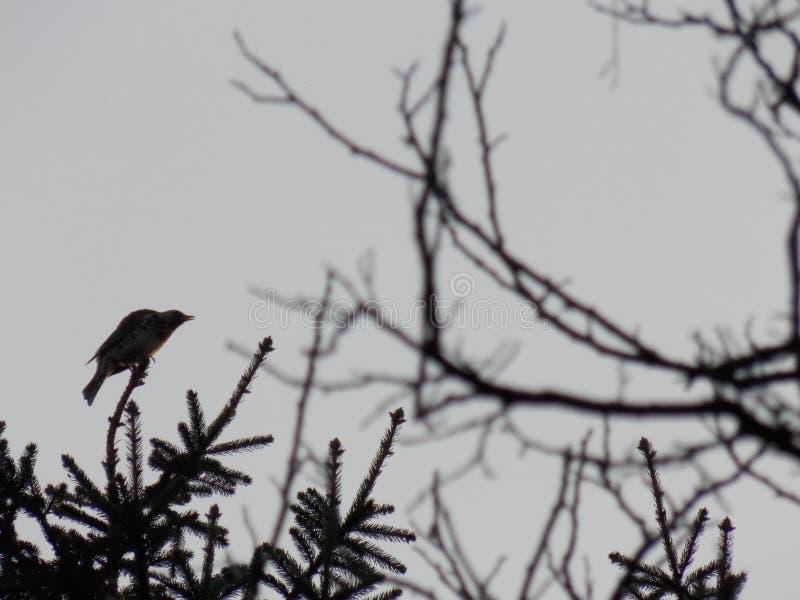 CocoÈ™ar -鸟 库存照片