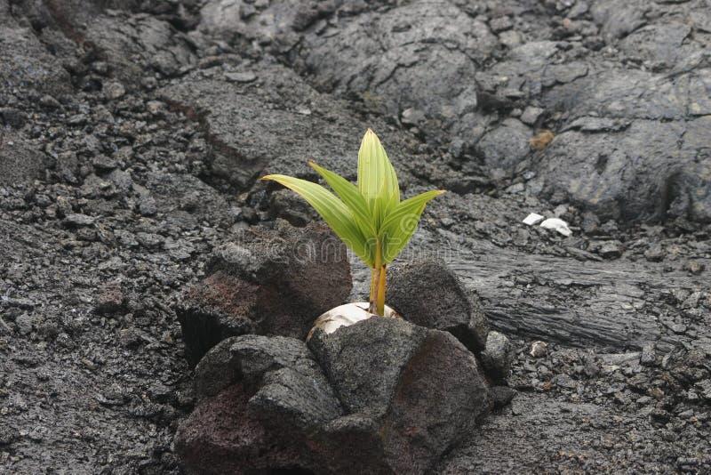 Coco 164 que crece en roca de la lava imagen de archivo libre de regalías