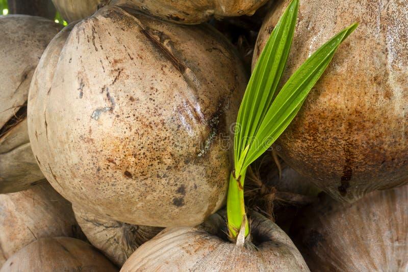 Download Coco imagem de stock. Imagem de sapling, árvore, verde - 26524523