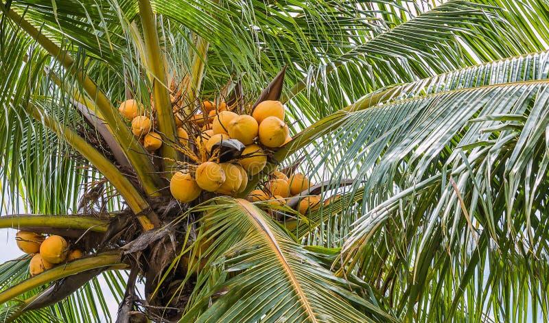 Coco amarillo imágenes de archivo libres de regalías