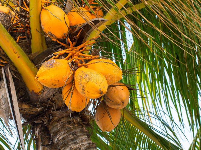 Coco amarillo en la palmera Palmera enana malaya de oro Primer de oro del coco fotografía de archivo libre de regalías