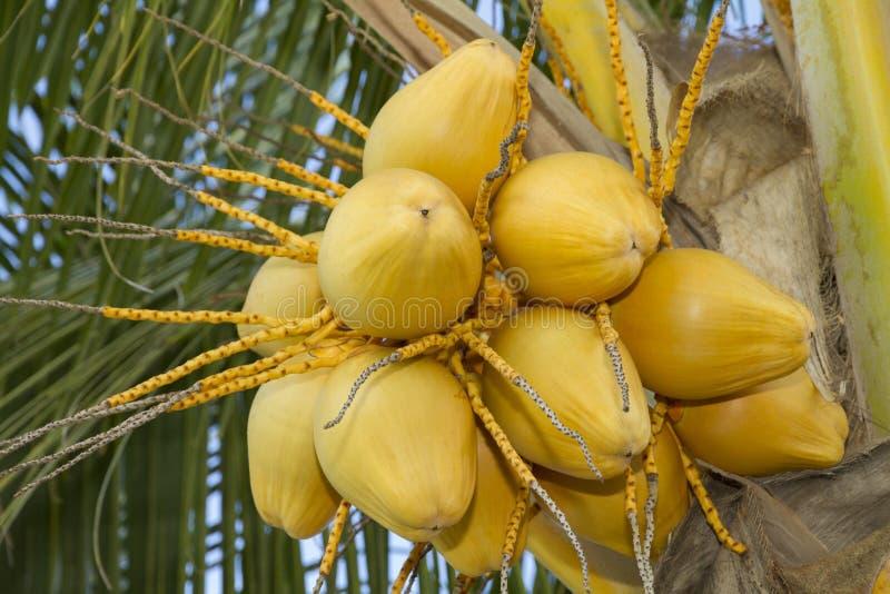 Coco amarillo fresco foto de archivo