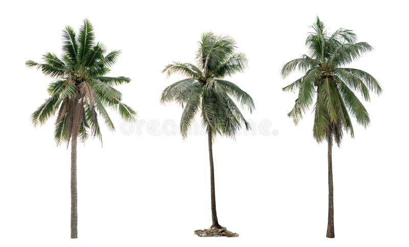 Coco da palmeira da coleção o jardim isolado foto de stock