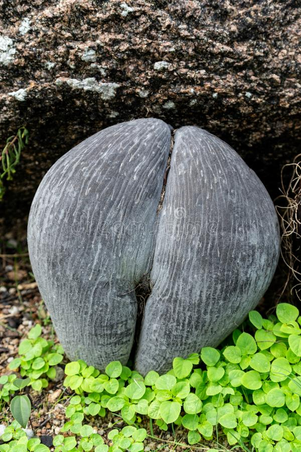 Coco de mer seeds of Seychelles palm stock images
