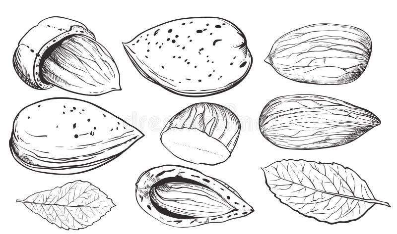 Coco del vector en el fondo blanco Tuercas aisladas stock de ilustración