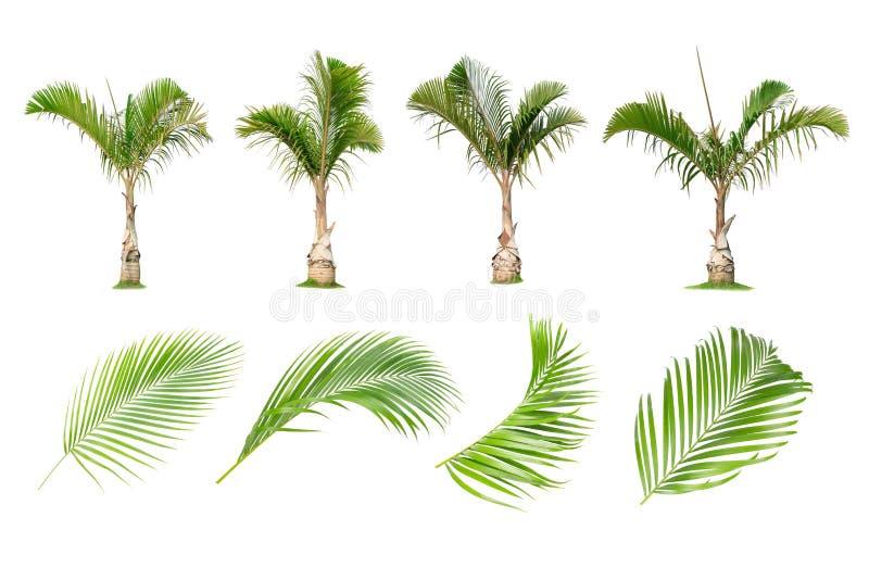 Coco e palmeiras, ?rvore isolada em folha de palmeira no fundo branco fotografia de stock