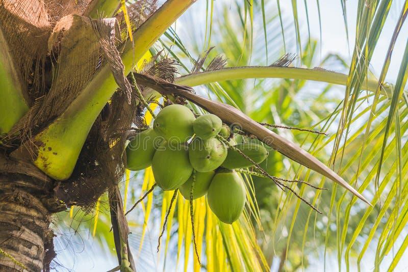 Coco en árbol fotografía de archivo libre de regalías