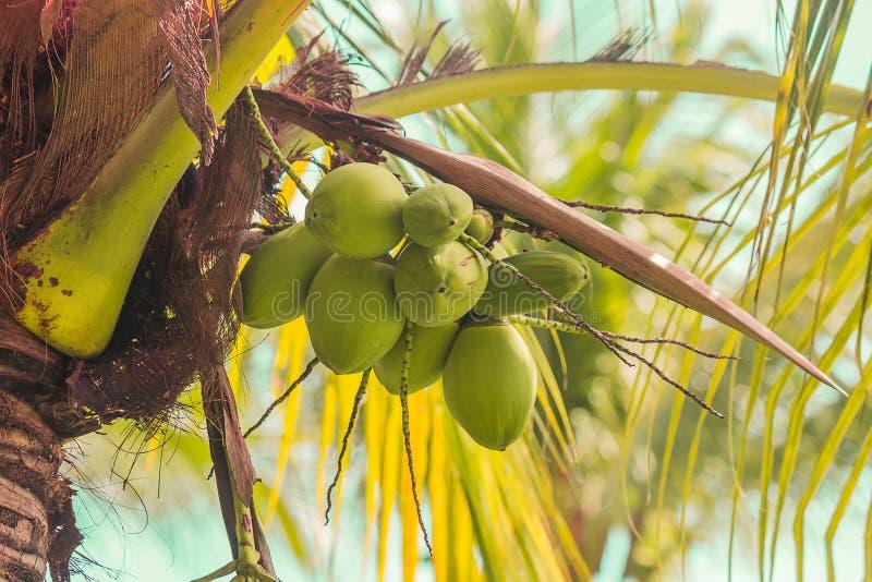 Coco en árbol imágenes de archivo libres de regalías
